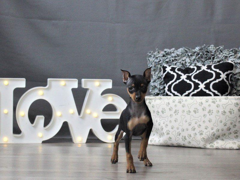 Miniature Pinscher-DOG-Female-Black / Rust-3044646-Petland Carriage Place