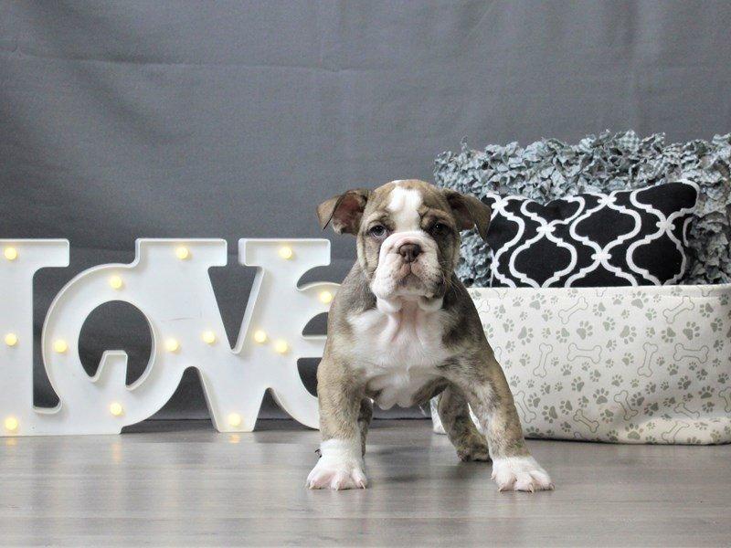 Bulldog-DOG-Male-Chocolate-3044660-Petland Carriage Place