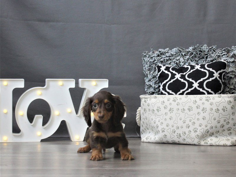 Dachshund-Male-Chocolate and Tan-3044656-Petland Carriage Place