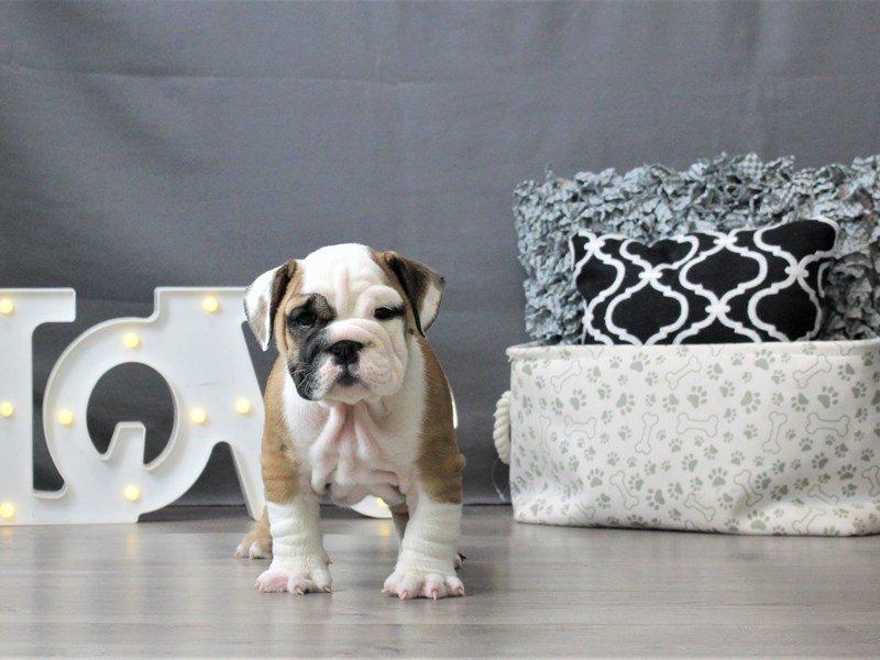 English Bulldog-DOG-Male-Red-3044653-Petland Carriage Place