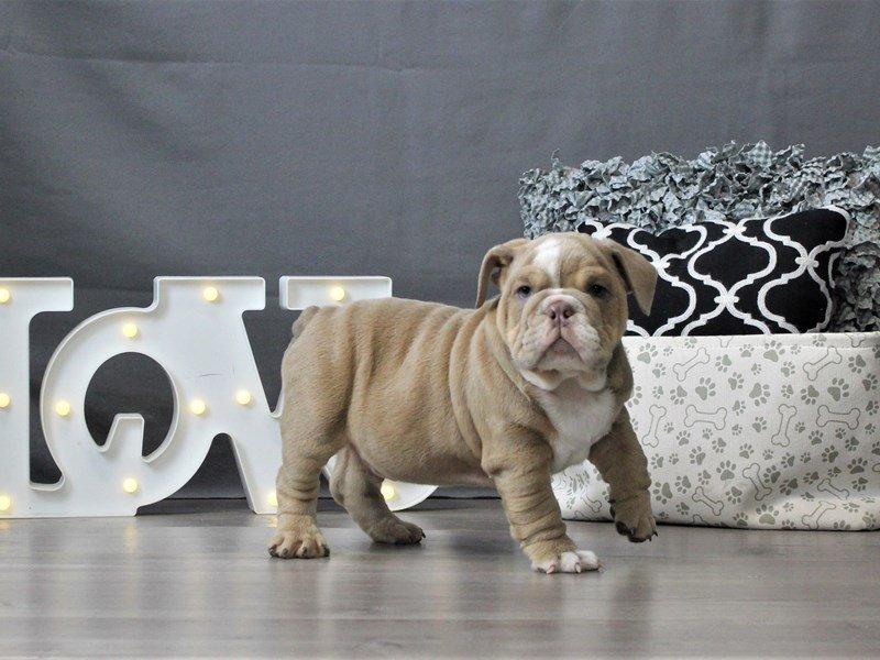 Bulldog-DOG-Male-Lilac-3044659-Petland Carriage Place