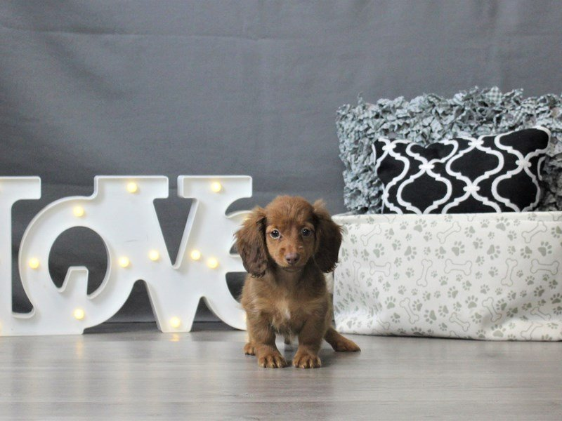 Dachshund-Female-Red-3044654-Petland Carriage Place