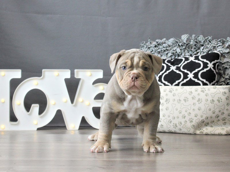 Old English Bulldog-DOG-Male-Lilac Tri-3047454-Petland Carriage Place