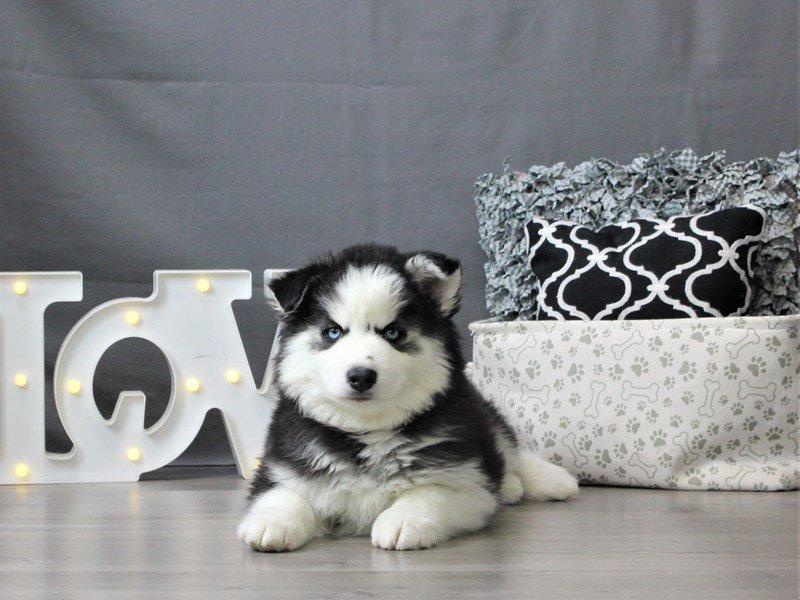 Siberian Husky-DOG-Female-Black / White-3044649-Petland Carriage Place