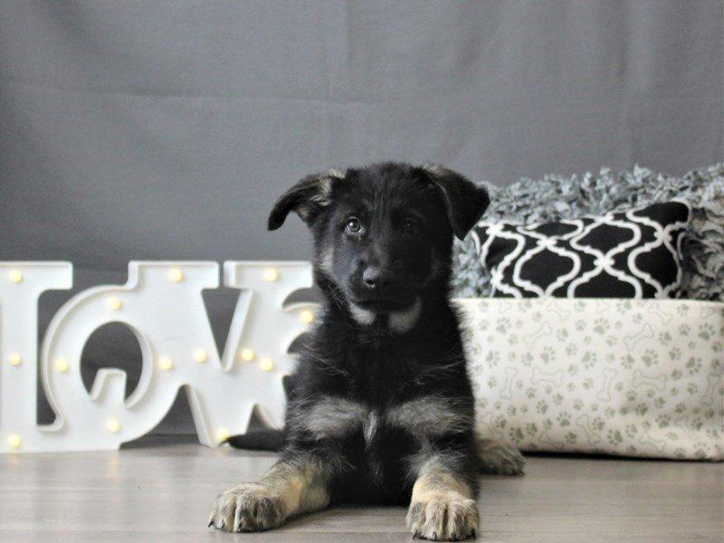 German Shepherd Dog-DOG-Male-Black / Tan-3055022-Petland Carriage Place