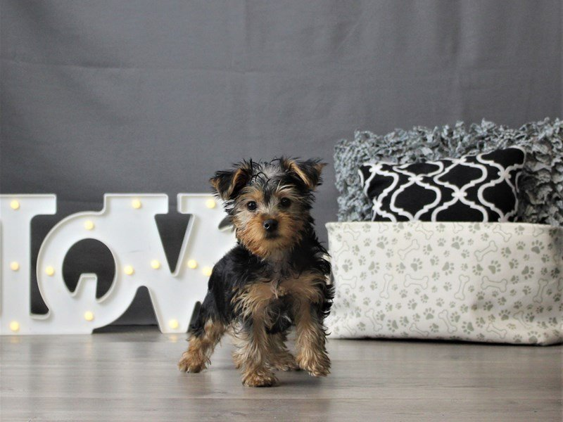 Yorkshire Terrier-DOG-Male-Black / Tan-3055464-Petland Carriage Place