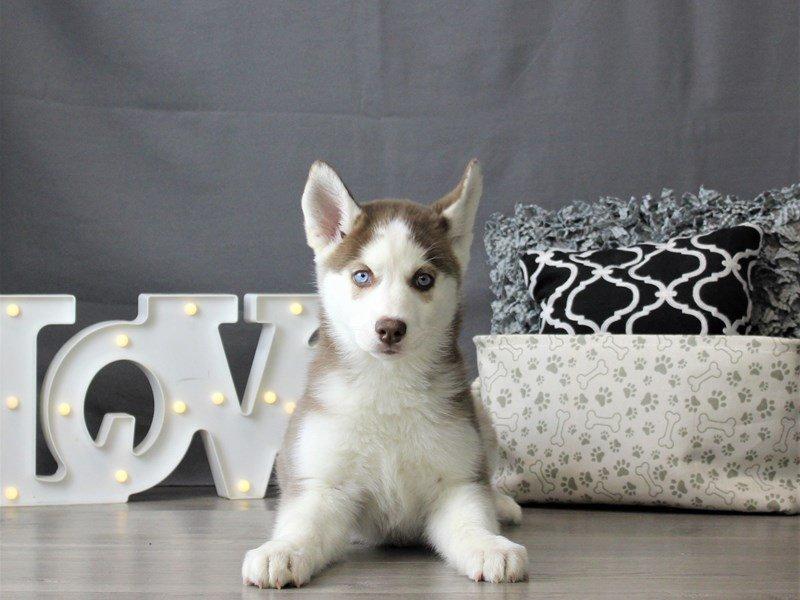 Siberian Husky-DOG-Female-Red / White-3055039-Petland Carriage Place