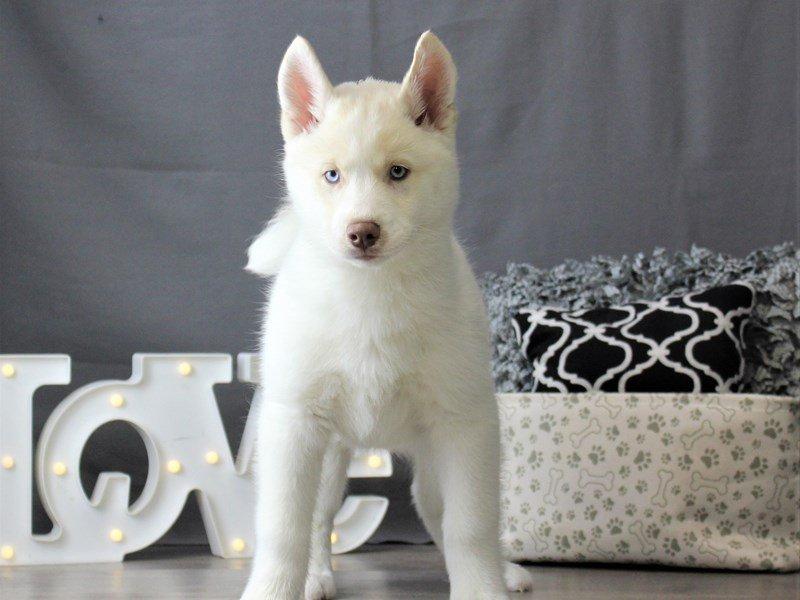 Siberian Husky-DOG-Male-White-3055042-Petland Carriage Place