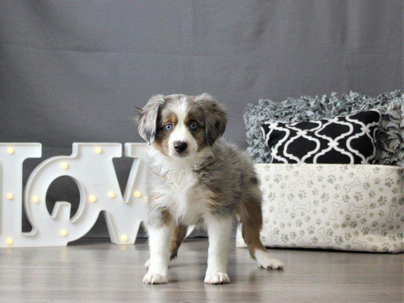 Miniature Australian Shepherd-DOG-Female-Blue Merle-3055020-Petland Carriage Place