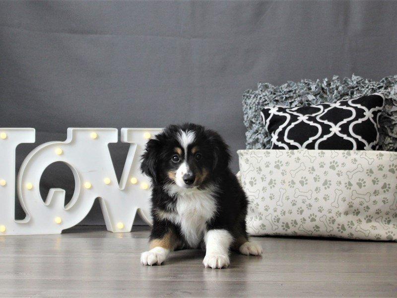 Miniature Australian Shepherd-DOG-Male-Black White / Tan-3055021-Petland Carriage Place