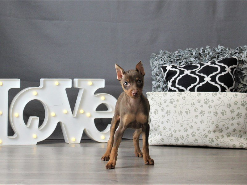 Miniature Pinscher-DOG-Female-Chocolate and Tan-3055027-Petland Carriage Place