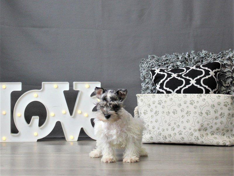 Miniature Schnauzer-DOG-Male-Blue Merle / White-3055018-Petland Carriage Place
