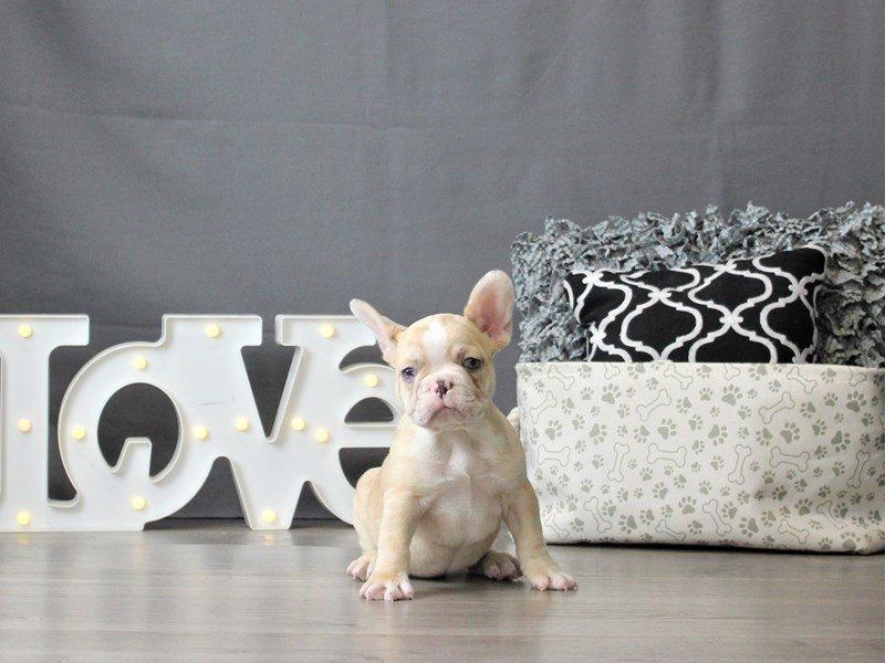 French Bulldog-DOG-Male-Chocolate Merle-3055467-Petland Carriage Place