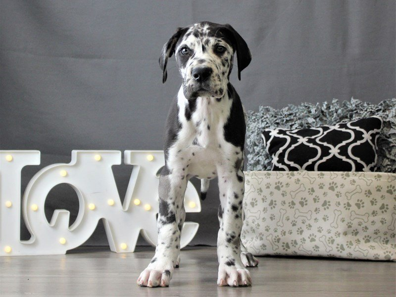 Great Dane-DOG-Male-Harlequin-3055044-Petland Carriage Place