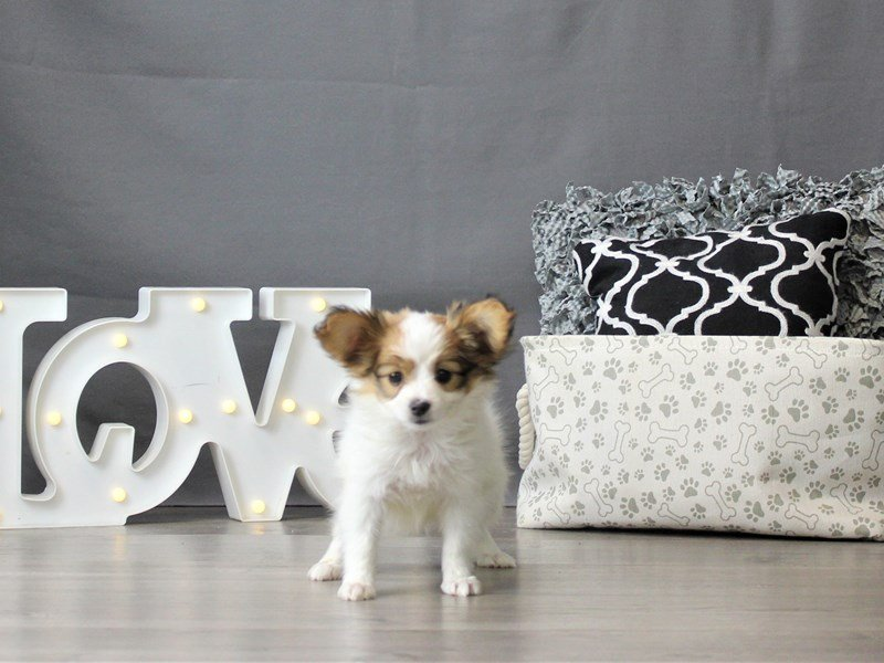 Papillon-DOG-Female-Red / White-3055028-Petland Carriage Place