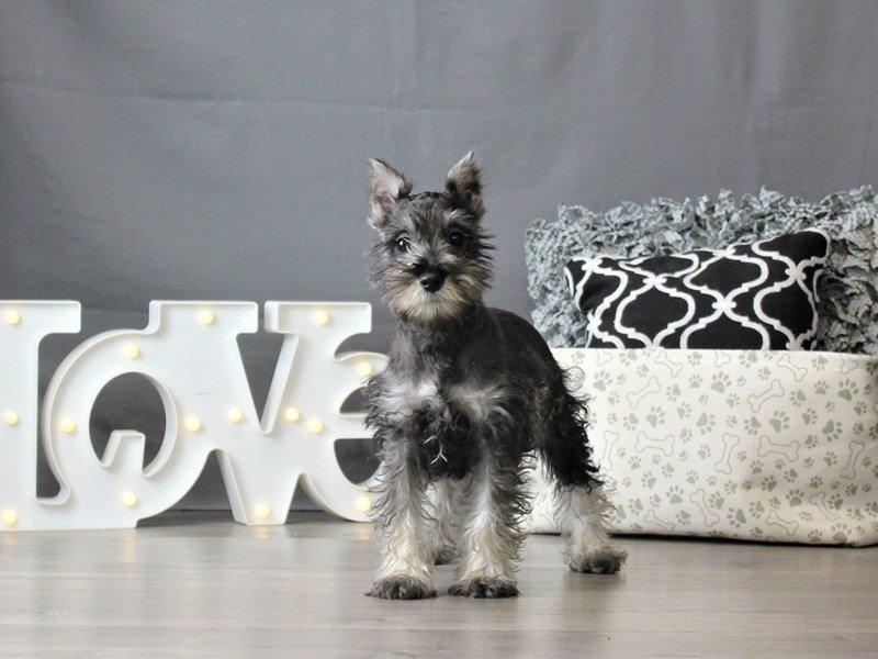 Miniature Schnauzer-DOG-Female-Salt / Pepper-3055043-Petland Carriage Place