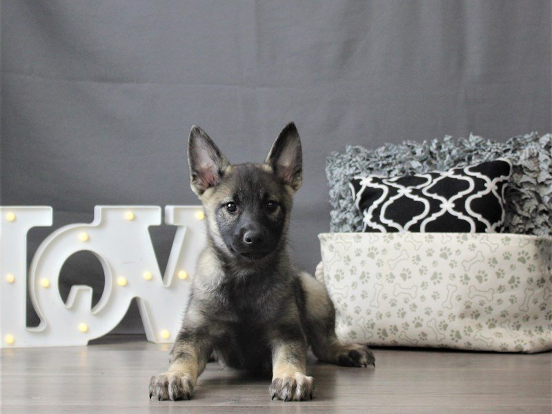 Norwegian Elkhound-DOG-Male-Black / Silver-3055031-Petland Carriage Place