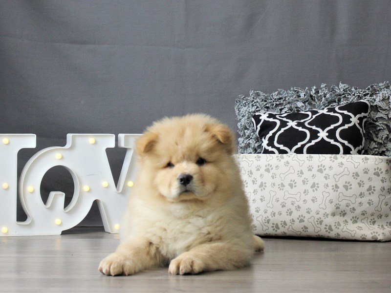 Chow Chow-Male-Cream-3055026-Petland Carriage Place