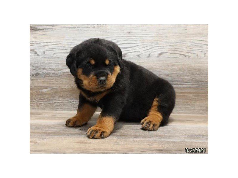 Rottweiler-DOG-Male-Black / Tan-3066441-Petland Carriage Place