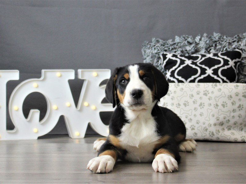 Greater Swiss Mountain Dog-DOG-Male-Black, White / Red-3066473-Petland Carriage Place