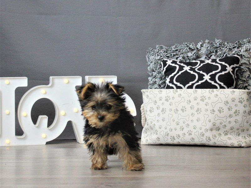 Yorkshire Terrier-DOG-Female-Black / Tan-3066466-Petland Carriage Place
