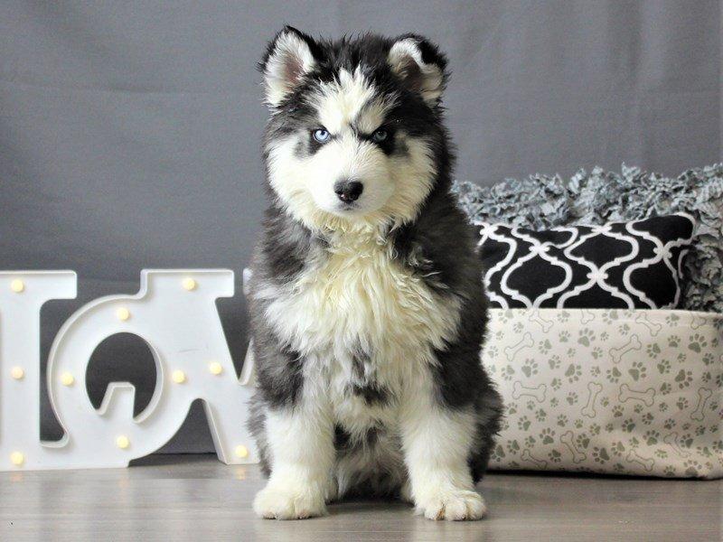 Siberian Husky-DOG-Female-Black & White-3061702-Petland Carriage Place