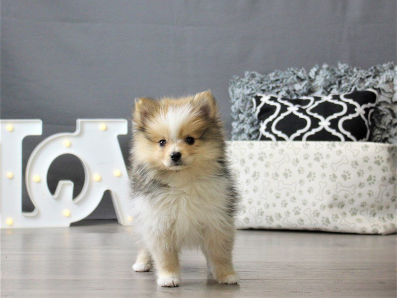 Pomeranian-DOG-Female-Sable / White-3066486-Petland Carriage Place