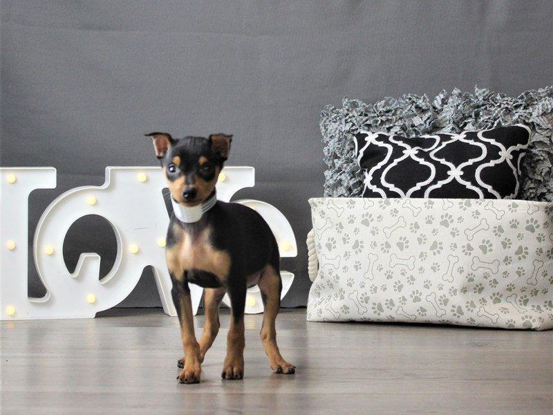 Miniature Pinscher-DOG-Male-Black / Tan-3066457-Petland Carriage Place