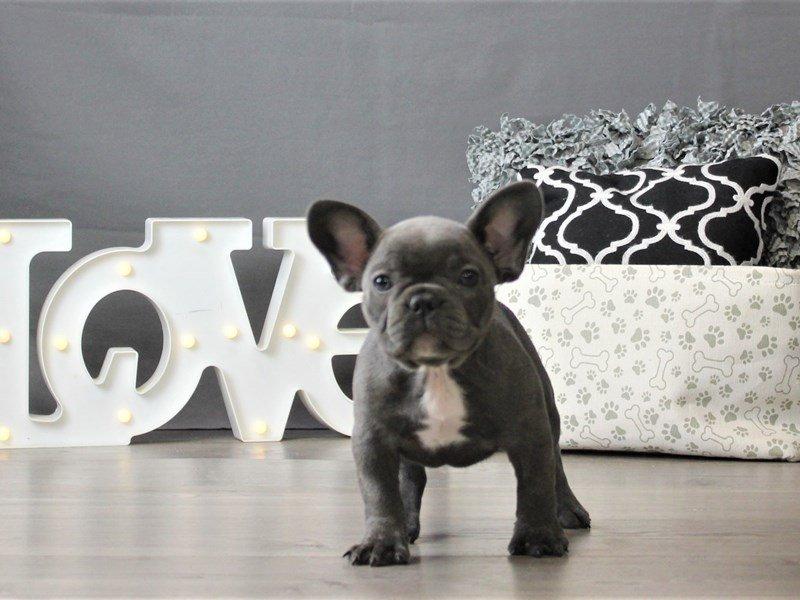 French Bulldog-DOG-Female-Blue-3066442-Petland Carriage Place