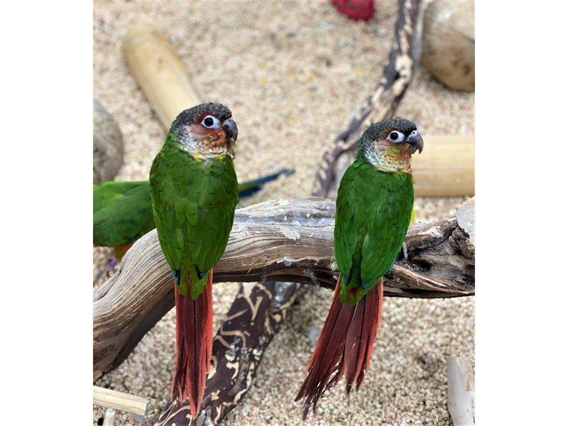 Conure--High Red-3023808-Petland Carriage Place