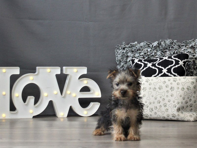 Silky Terrier-Male-Black / Tan-3024868-Petland Carriage Place