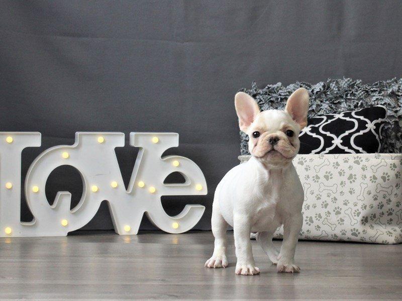 French Bulldog-DOG-Female-White-3024884-Petland Carriage Place