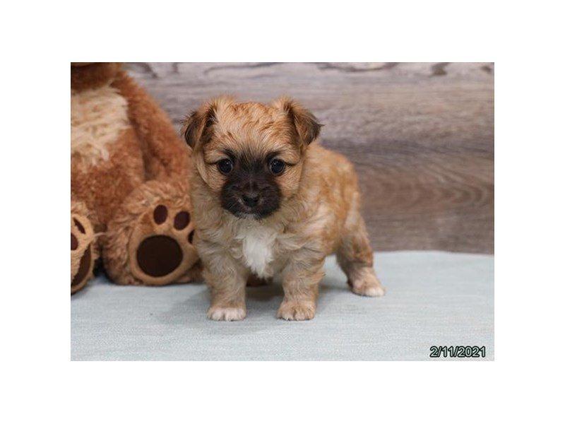 Chihuahua-DOG-Male-Tan / White-3034955-Petland Carriage Place