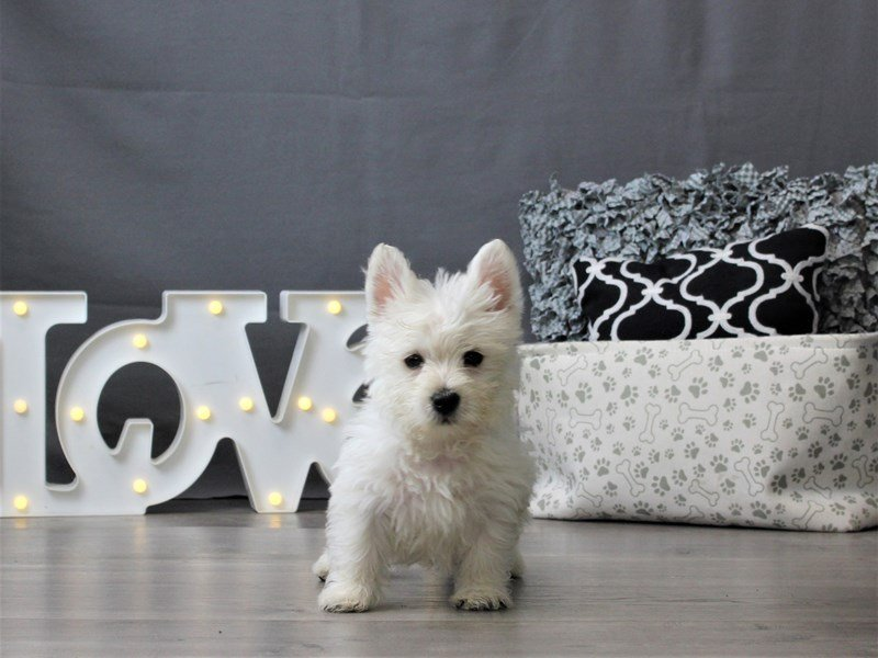 West Highland White Terrier-DOG-Male-White-3035032-Petland Carriage Place
