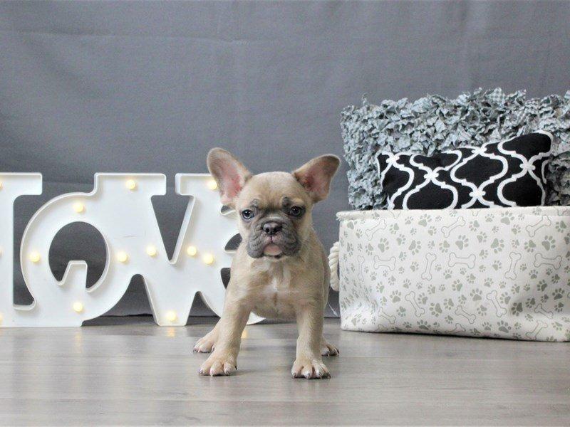 French Bulldog-DOG-Male-Fawn-3035023-Petland Carriage Place