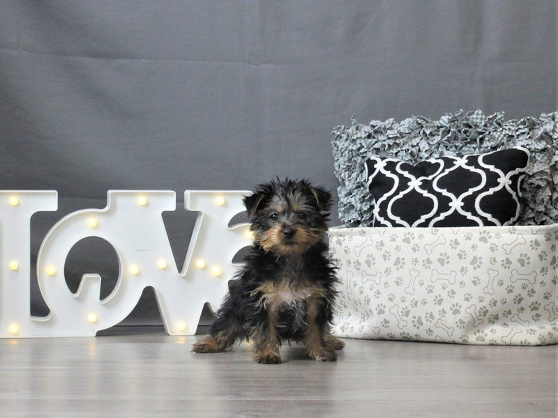 Silky Terrier-Male-Black / Tan-3044650-Petland Carriage Place