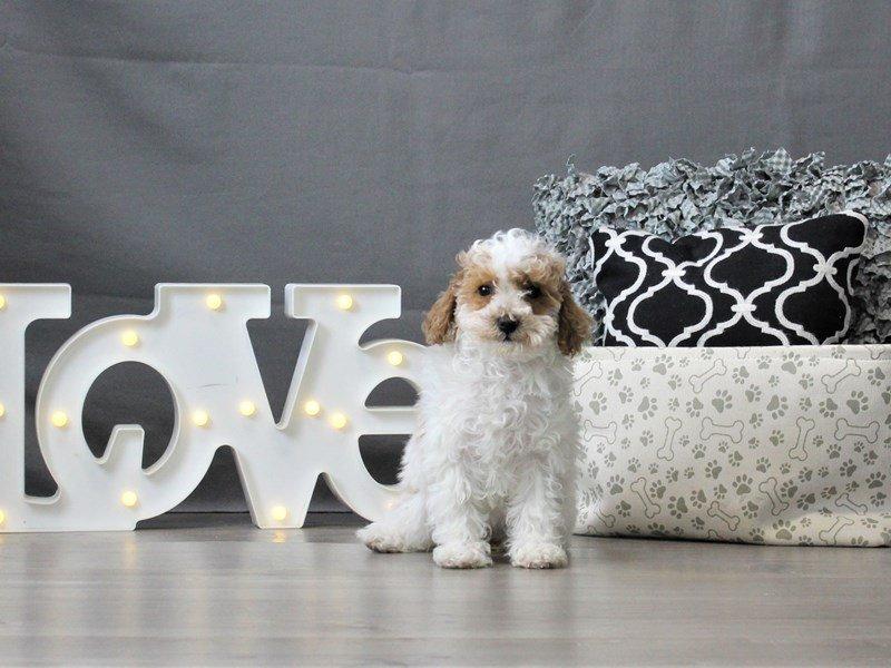 Poodle-DOG-Female-White-3044694-Petland Carriage Place