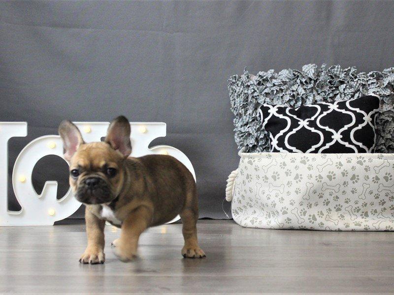 French Bulldog-DOG-Female-Fawn/ Blk msk-3047293-Petland Carriage Place