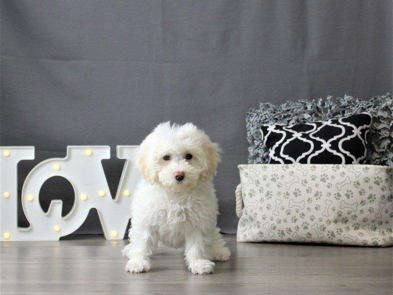 Bichon/Poodle-Female-White-3055034-Petland Carriage Place