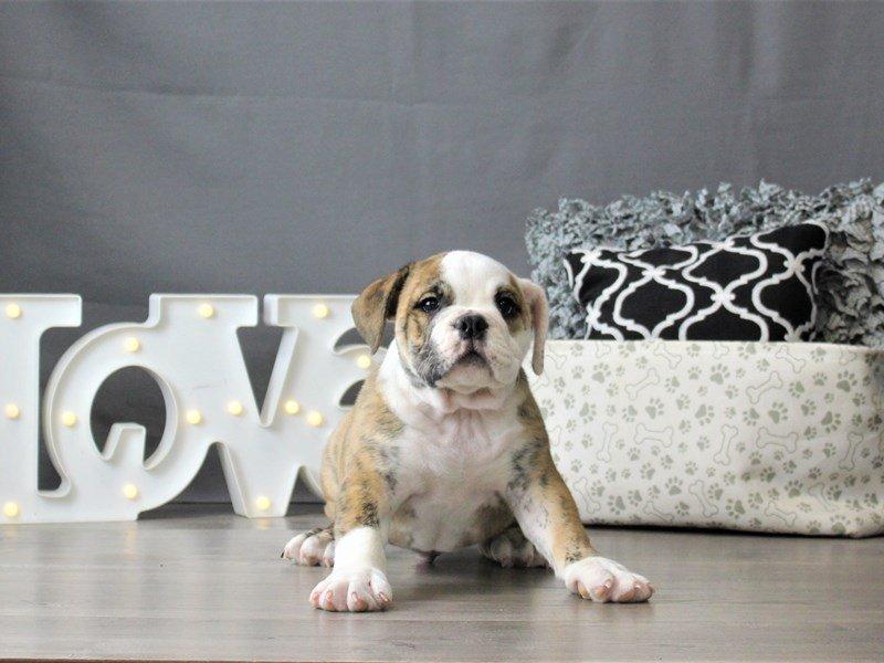 Bulldog-DOG-Male-Brindle / White-3055458-Petland Carriage Place