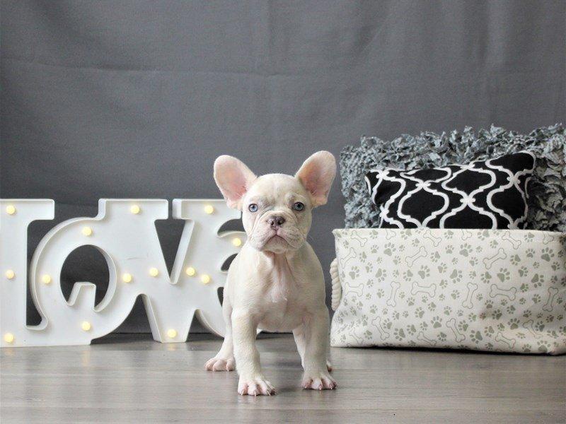 French Bulldog-DOG-Male-Cream-3055468-Petland Carriage Place