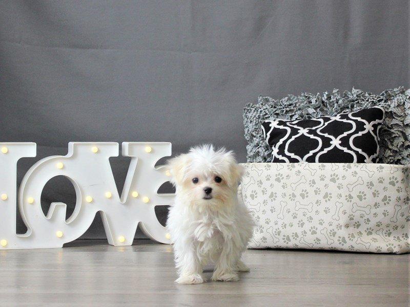 Maltese-DOG-Male-White-3055471-Petland Carriage Place