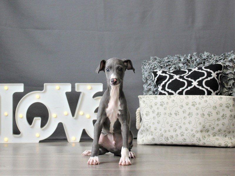 Italian Greyhound-DOG-Male-Blue-3055469-Petland Carriage Place