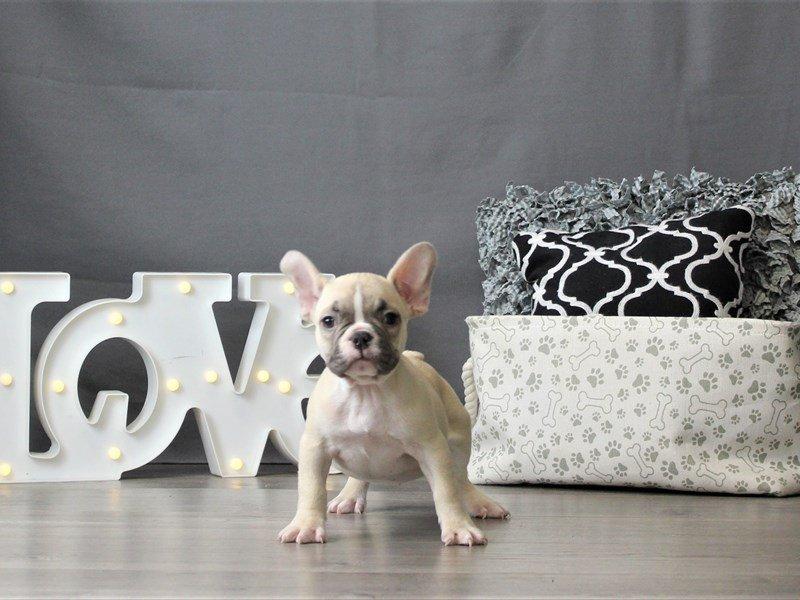 French Bulldog-DOG-Female-Fawn-3055465-Petland Carriage Place