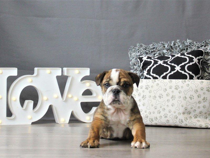 English Bulldog-DOG-Male-Brindle / White-3055045-Petland Carriage Place