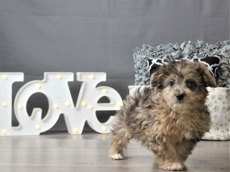 Mini Aussie Poo-DOG-Male-Chocolate Merle-3066456-Petland Carriage Place