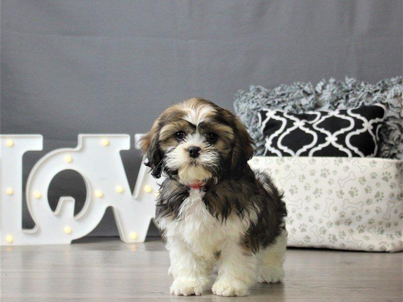Cavalier King Charles Spaniel/Shih Tzu-DOG-Female-Sable / White-3066493-Petland Carriage Place