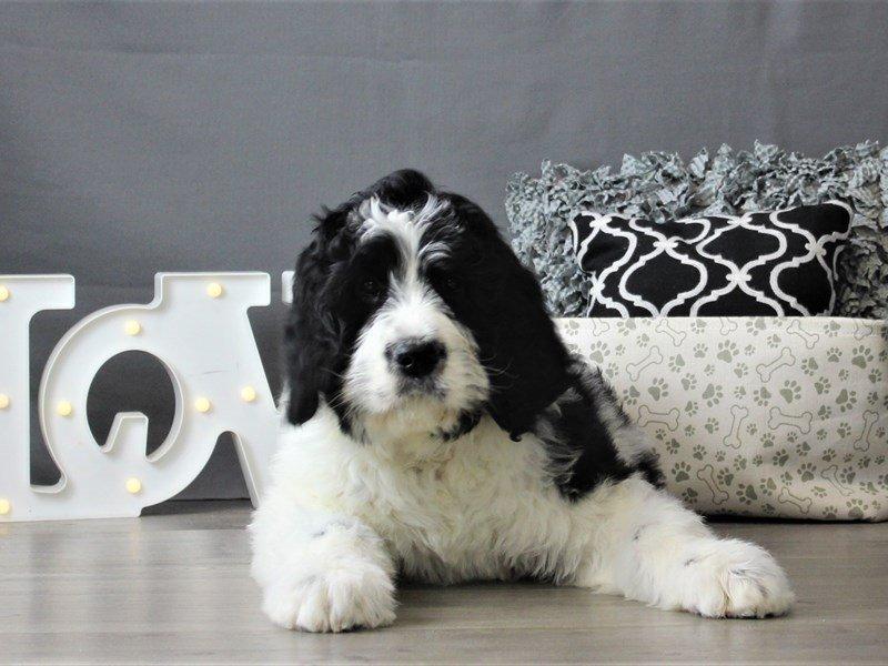 St. Bernadoodle-DOG-Male-Black / White-3066489-Petland Carriage Place