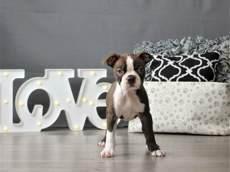 Boston Terrier-DOG-Male-Seal / White-3066448-Petland Carriage Place
