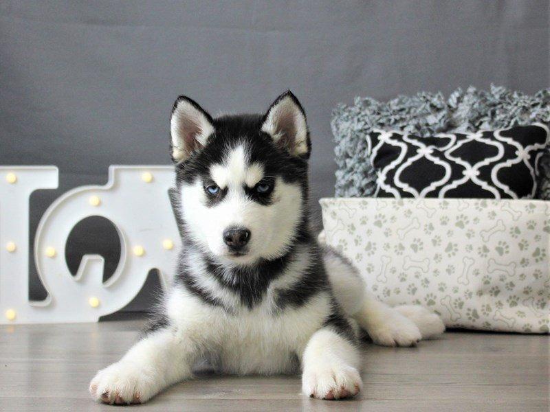 Siberian Husky-DOG-Male-Black / White-3066454-Petland Carriage Place